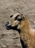 Sheep portrait — Stock Photo