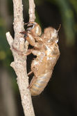Exoskeleton of cicada — Stock Photo