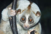 Slow loris — Stockfoto