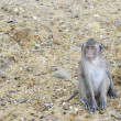 Macaque — Stockfoto #31390449