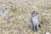 Macaque — Foto Stock
