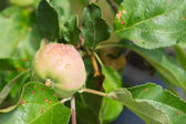 Apple among foliage on a branch after a rain close up — Stock Photo