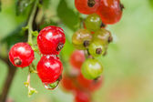 Berries of red currant with water drops after a rain — Photo