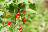 Berries of red currant on a branch in a sunny day — Stock Photo