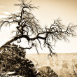 Grand Canyon tree oldie effect — Photo