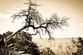 Grand Canyon tree oldie effect — Stock Photo