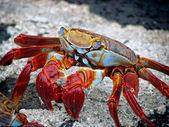 Krvavé pobřeží krab, galapágy — Stock fotografie