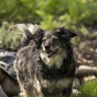 Mixed breed dog — Stockfoto