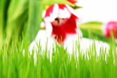 Grass and tulip — Stock Photo