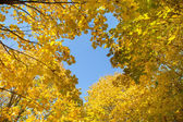 Yellow leaves and blue sky — Stock Photo