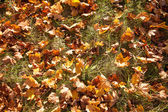 Yellow leaves on the grass in autumn — Stock Photo