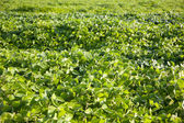 Green soybean field — Stock Photo