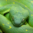 Head of green snake Atheris chlorechis — Stock Photo #30977917