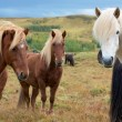 Three Icelandic horses looking at camera — Stock Photo #31249751