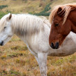 White and brown Icelandic horses from side view — Stock Photo #31249755