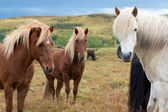 Three Icelandic horses looking at a camera — Stock fotografie