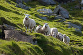 Herd of sheep looking at a camera — Stock Photo