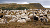 Big herd of sheep — Stock Photo