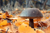 Mushroom between fallen leaves — Foto Stock