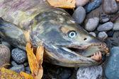 Dead salmon — Stock Photo