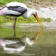 Painted Stork eating shellfish in the water   — Stock Photo