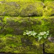 Plant and lichen on stone wall — Stock Photo
