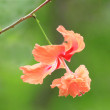 Macro of Hibiscus flower with green backdrop — Stock Photo