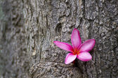 Pink frangipani with tree texture — Stock Photo