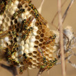 Stock Photo: Wasp hive