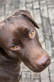 Brown Labrador with beautiful bright orange eyes — Stock Photo