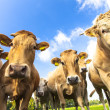 Curious cows 2 — Stock Photo