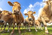 Vacas curiosas — Fotografia Stock