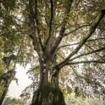 Big trees — Stock Photo