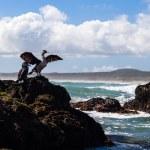 Постер, плакат: New Zealand king shags on a rock