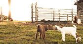 Brown and white newborn goats kissing. — Fotografia Stock