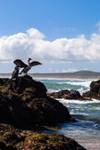 New Zealand king shags on a rock — Stock Photo