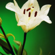 Lily on green background — Stock Photo #31602947