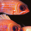 Stock Photo: Striped Squirrelfish