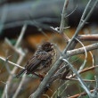 Foto Stock: Small Bird On Twig