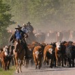 Stock Photo: Cattle Herding