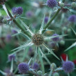 Purple wild thistles — Stock Photo