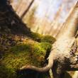 Tree Root — Stock Photo