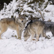 Stock Photo: Three Wolves In Snow