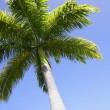 Foto Stock: Palm Tree