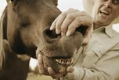 Horse Showing Teeth — Stock Photo