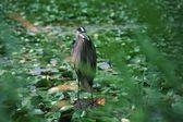 Heron Standing At Pond — Stock Photo