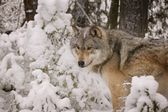 Wolf in nature — Stock Photo