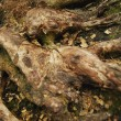Foto Stock: Tree Root