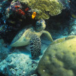 Stock Photo: Sea Turtle