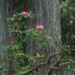 Flowering Woodland Shrub — Photo #31611041
